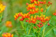Butterfly Milkweed 20 Seeds - Bright colour attracts bees and butterflies
